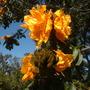 Spathodea campanulata 'Aurea'  - African Tulip Tree Flowers (Spathodea campanulata 'Aurea'  - African Tulip Tree)
