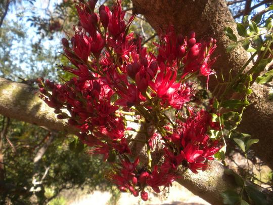 Schotia brachypetala - Parrot Tree Flowering (Schotia brachypetala - Parrot Tree)