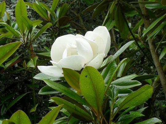 Magnolia grandiflora 'Exmouth' - 2016 (Magnolia grandiflora 'Exmouth')