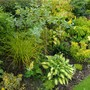 Golden Carex to the left of Pineapple Broom and Hosta 'Gypsy Rose' (Carex elata 'Aurea')
