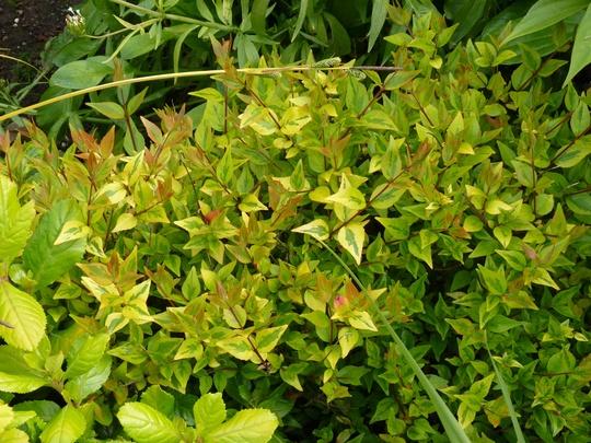 Abelia for my records (Abelia x grandiflora (Abelia))