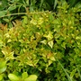Abelia for my records (Abelia x grandiflora (Abelia))