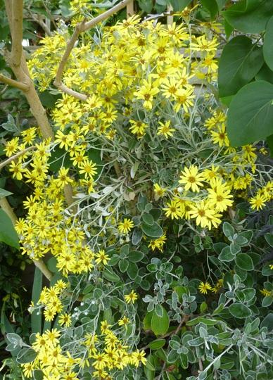 Brachyglottis 'Sunshine'  (Shrubby Ragwort) (Brachyglottis compacta (Senecio))