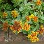 Sedum kamtschaticum variegatum (Sedum kamtschaticum (Stonecrop))