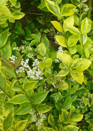 Ligustrum ovalifolium aureum (Ligustrum ovalifolium aureum)