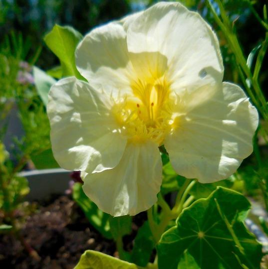 Nasturtium Pale yellow