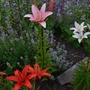 Thyme and Asiatic Lilies