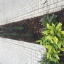 Italian cypress X5 planted.