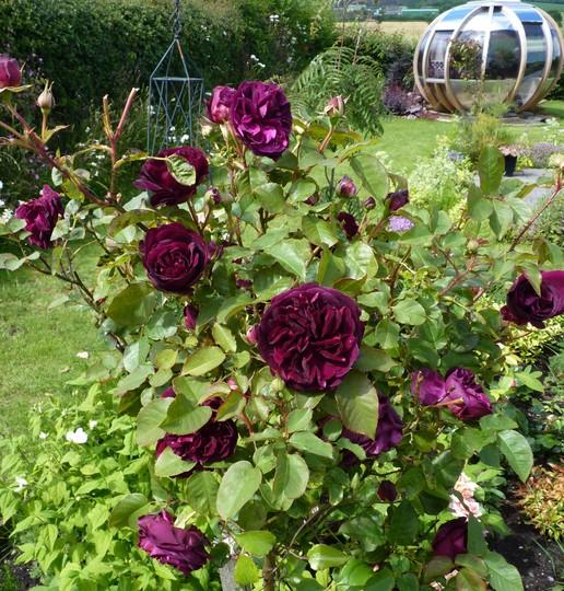 standard rose 39 munstead wood 39 grows on you. Black Bedroom Furniture Sets. Home Design Ideas