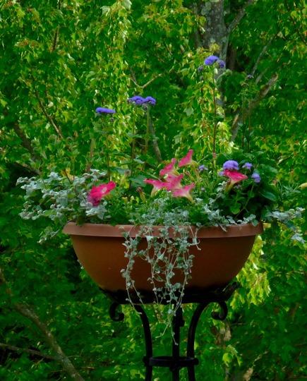 Petunia, Tall Ageratum. Licorice Plant container