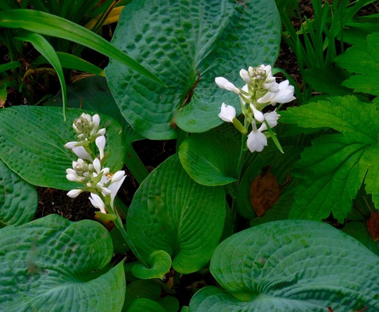 Standard blue-green Hosta in bloom