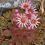 Common Sedum in bloom