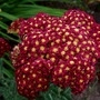 Crimson Yellow Yarrow
