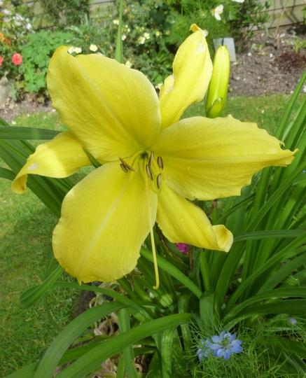 Hemerocallis (Day Lily) 'Big Bird'