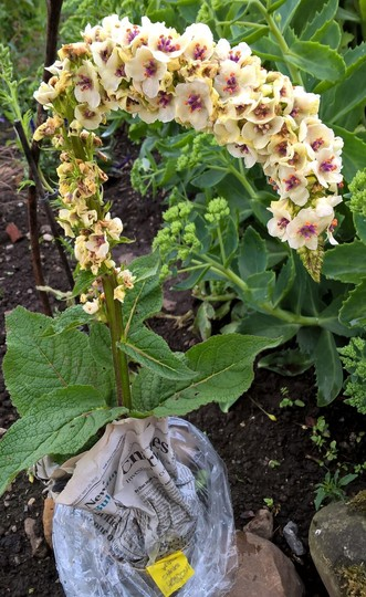 White nettle-leaved mullein (Verbascum chaixii 'Album')