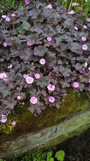Hardy Geranium x Antipodeum (Hardy Geranium x Antipodeum. Pink Spice)