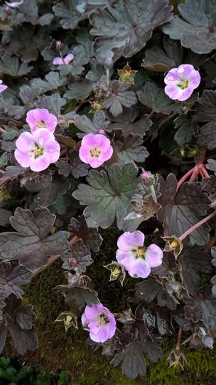 5df0a24a 664a 4958 a738 c274d71ae800 (Hardy Geranium x Antipodeum. Pink Spice)