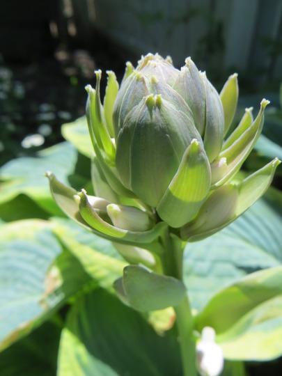 Hosta bud (Hosta sieboldiana)