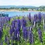 Lupin time on Cape Breton Island