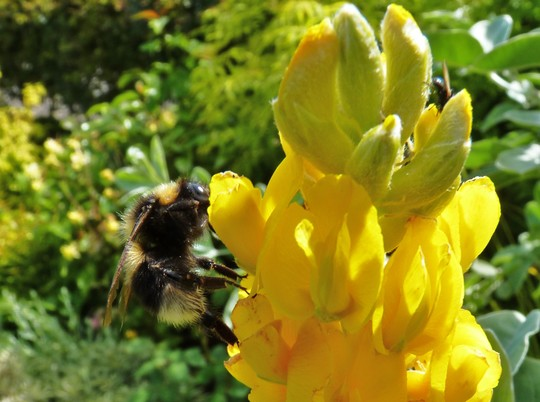 Beautiful Sunny Day, Bee Making the Most of The Pineapple Broom