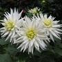 White cactus dahlias
