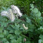 Sanguisorba albiflora - 2016 (Sanguisorba albiflora)