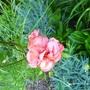 P1030158diane_pink