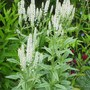 Veronica longifolia 'Charlotte' (Veronica longifolia (Beach Speedwell))