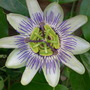 Passion_flower1