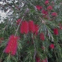 Callistemon linearis (close-up) - 2016 (Callistemon linearis)