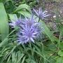 Eryngium bourgatii 'Picos Blue' - 2016 (Eryngium bourgatii)