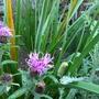 Yaay another flower spike on Kniphofia
