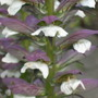 Acanthus_mollis_close_up
