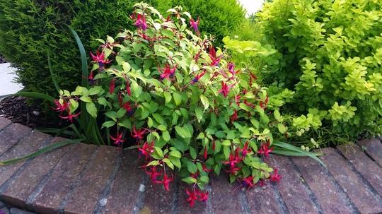 Fuchsia Genii... (Fuchsia)