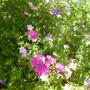 Mingle - Sweet William, perennial Geraniums