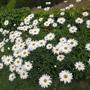 Shasta daisies (Leucanthemum × superbum )