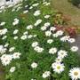 White daisies /Leucanthemum × superbum  (Leucanthemum × superbum)