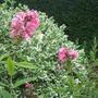 Re_planted_pink_phlox