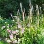 Francoa 'Sonchifolia' and Rose 'Oxfordshire' (Francoa sonchifolia (Bridal Wreath))