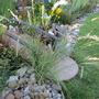 Melica ciliata (Melica ciliata)