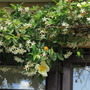 Trachelospermum with Mermaid Rose (Trachelospermum jasminoides (Star jasmine))
