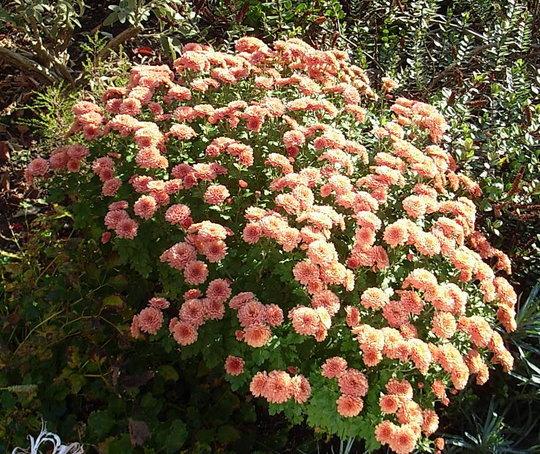Chrysanthemum (Chrysanthemum)