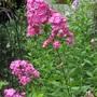 Phlox paniculata 'Forever Pink'