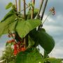 runner beans flowering