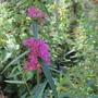 Lythrum salicaria (Lythrum salicaria (Loosestrife))