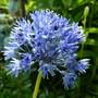 My favourite allium 'caeruleum' ... (Allium caeruleum)