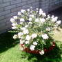 White Crape_Mrytle (Lagerstroemia indica (Astromelia Blanca))
