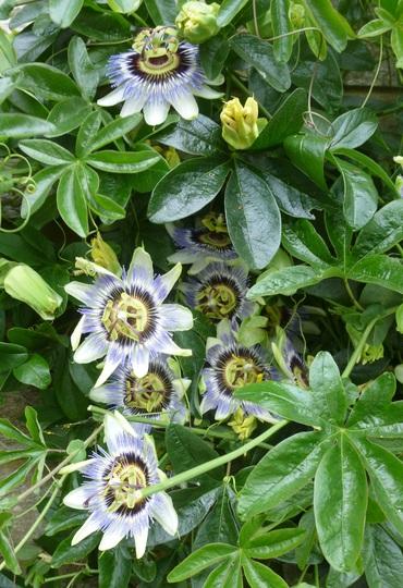 Passion flower (Passiflora caerulea (Passion flower))