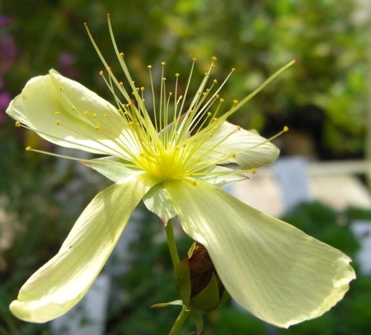 Pretty yellow - Hypericum Polyphyllum (Hypericum Polyphyllum)