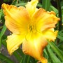 Daylily 'Madge Cayse' x 'All American Windmill'